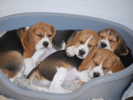 Beagle Welpen vom Tiny Rascal Kennel